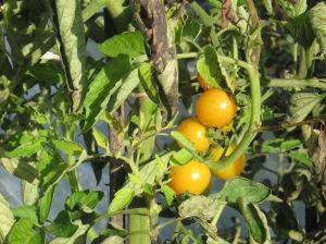 De Laatste Gele Tomaatjes